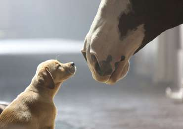 Budweiser: Puppy Love